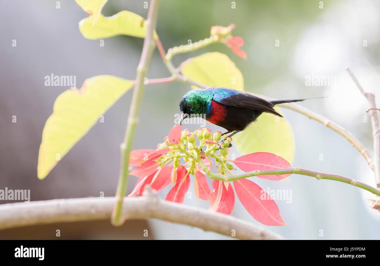 Red-chested Sunbird (Cinnyris erythrocercus) in a Garden Feeding on Nectar in Northern Tanzania - Stock Image