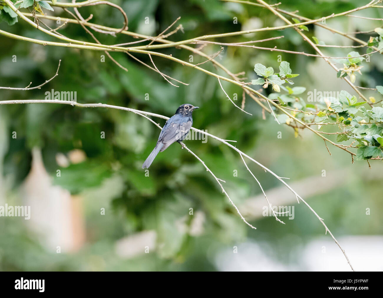 Southern Black Flycatcher (Melaenornis pammelaina) Perched on a Branch in Northern Tanzania - Stock Image