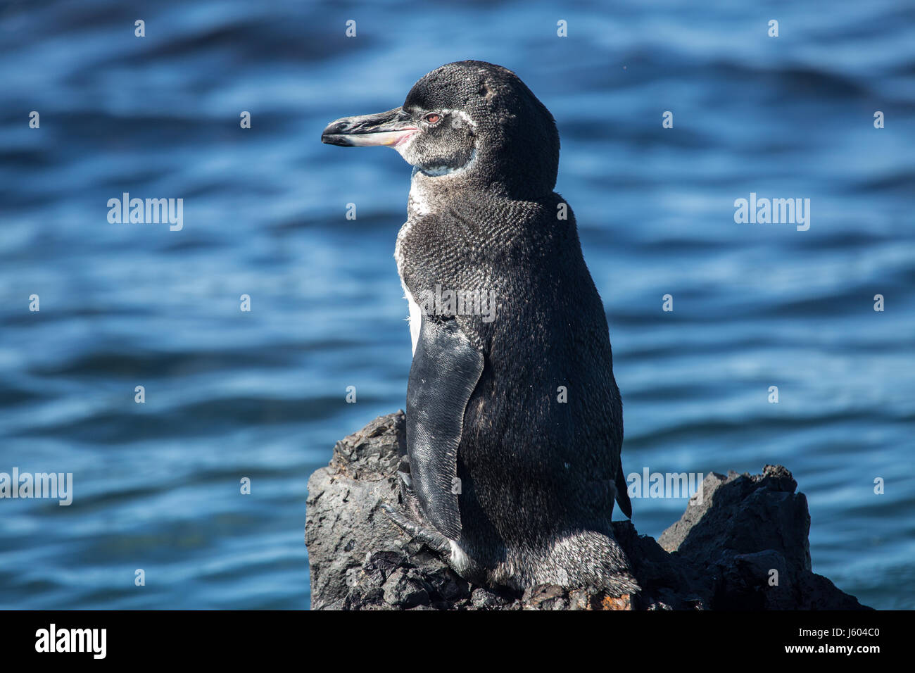 Galapagos penguin standing on a rock - Stock Image