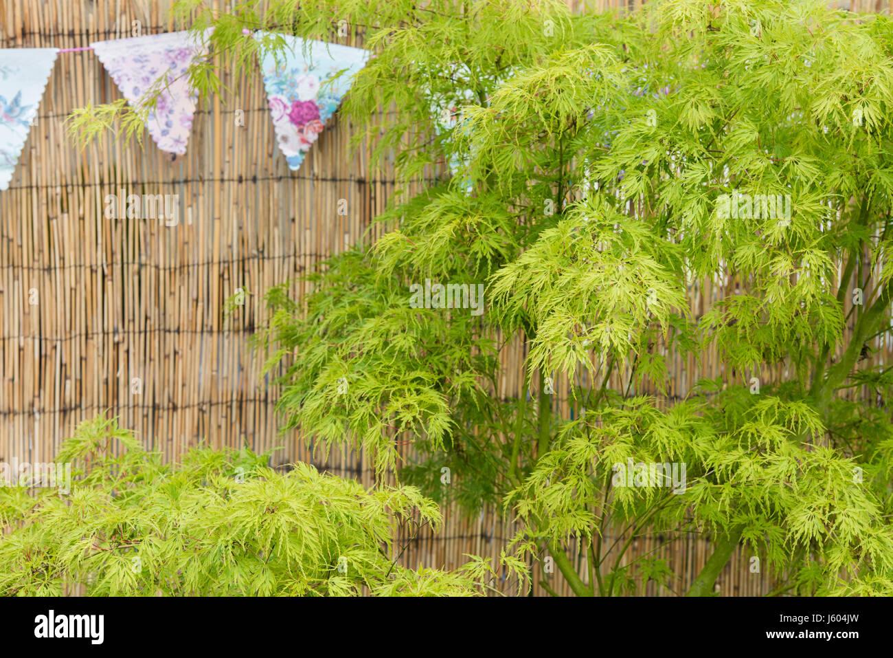 Acer Palmatum Dissectum Seiryu Stock Photos Acer Palmatum