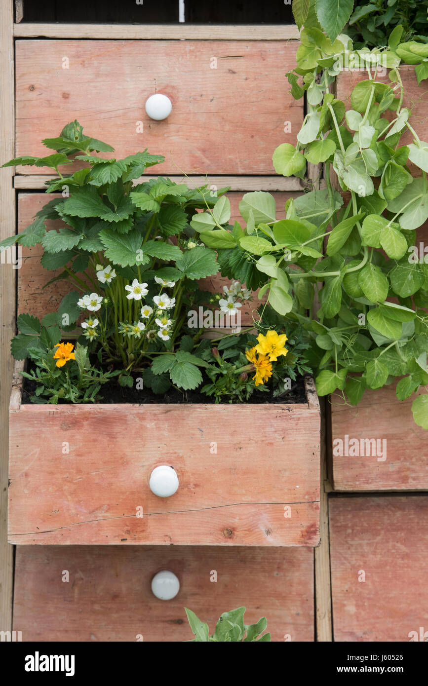 Chest of drawers flower display  in the Country Living Garden at Malvern Spring Show 2017. Malvern. Worchestershire. - Stock Image