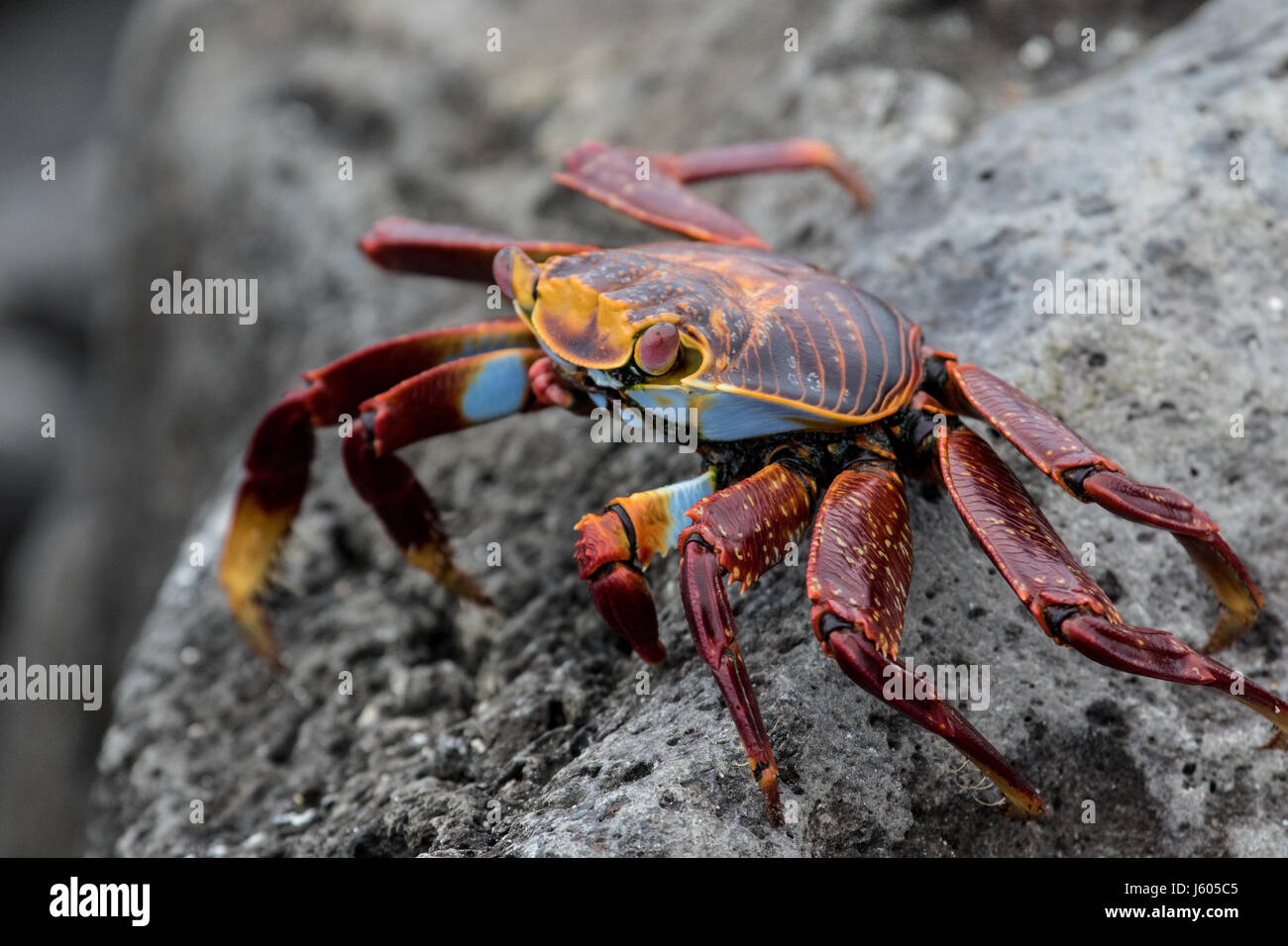 Sally lightfoot crab on a rock in the Galapagos - Stock Image