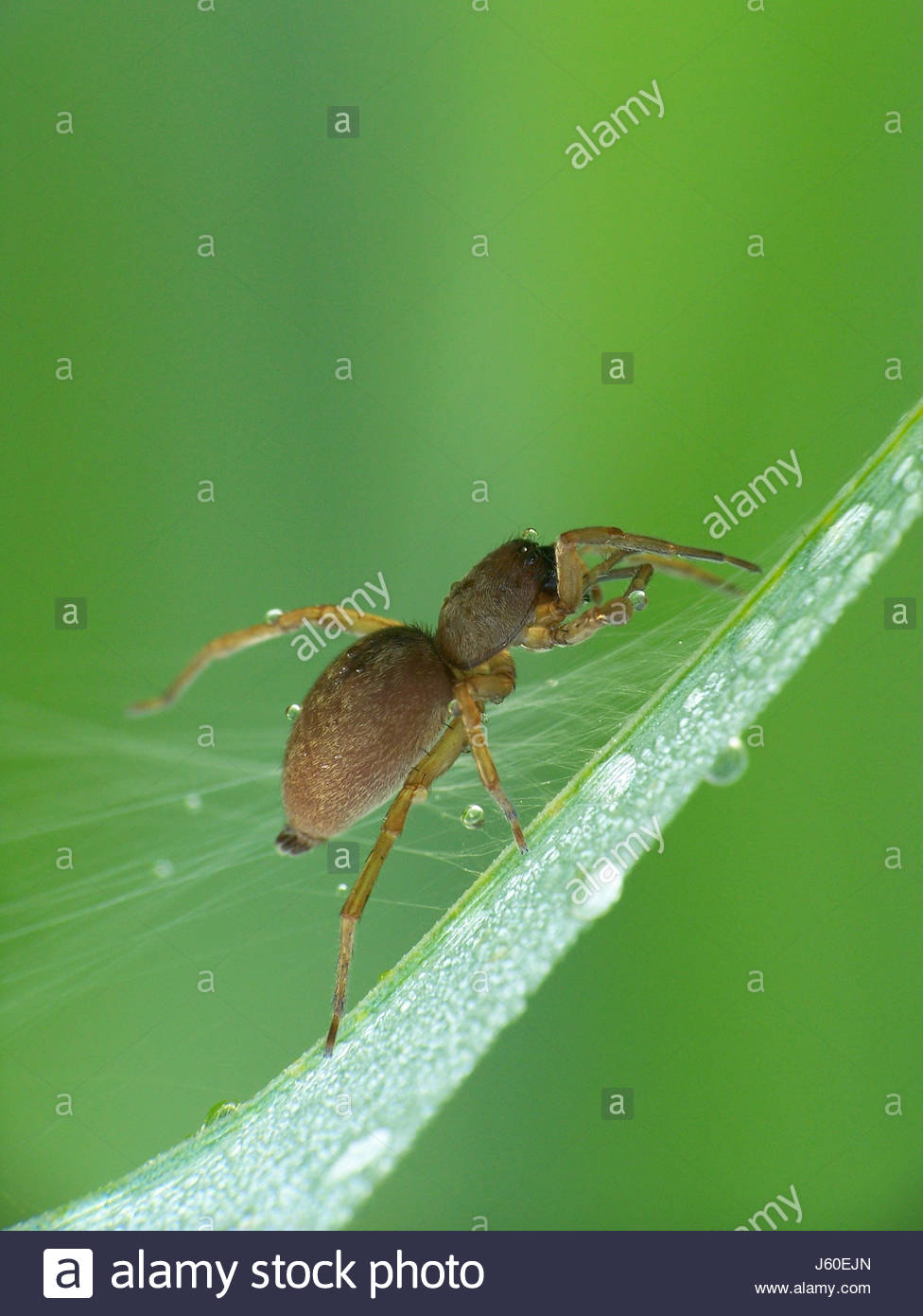 insect spider wet dewdrop blade of grass meadow grass lawn green legs insect - Stock Image