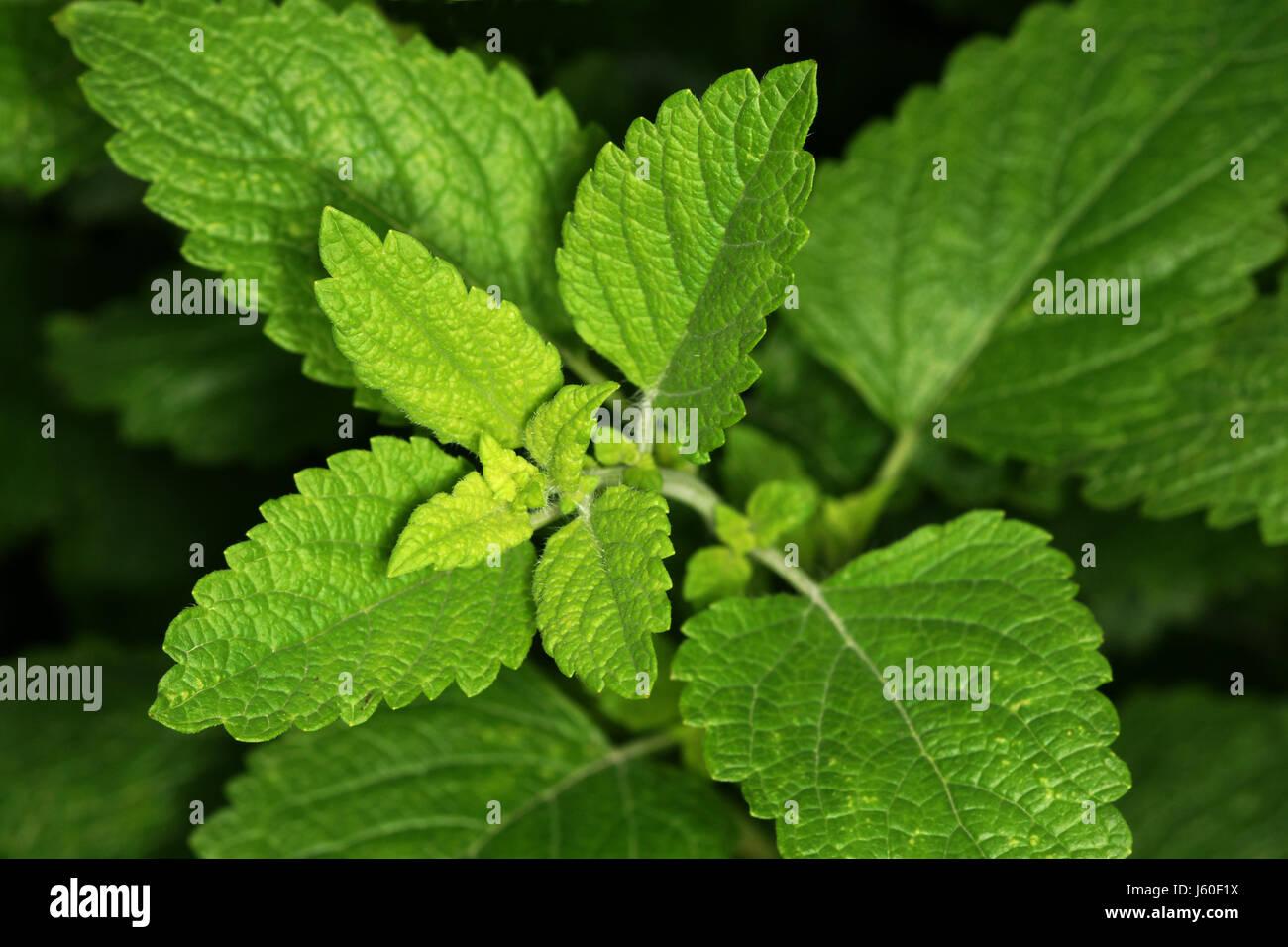 lemon balm Stock Photo