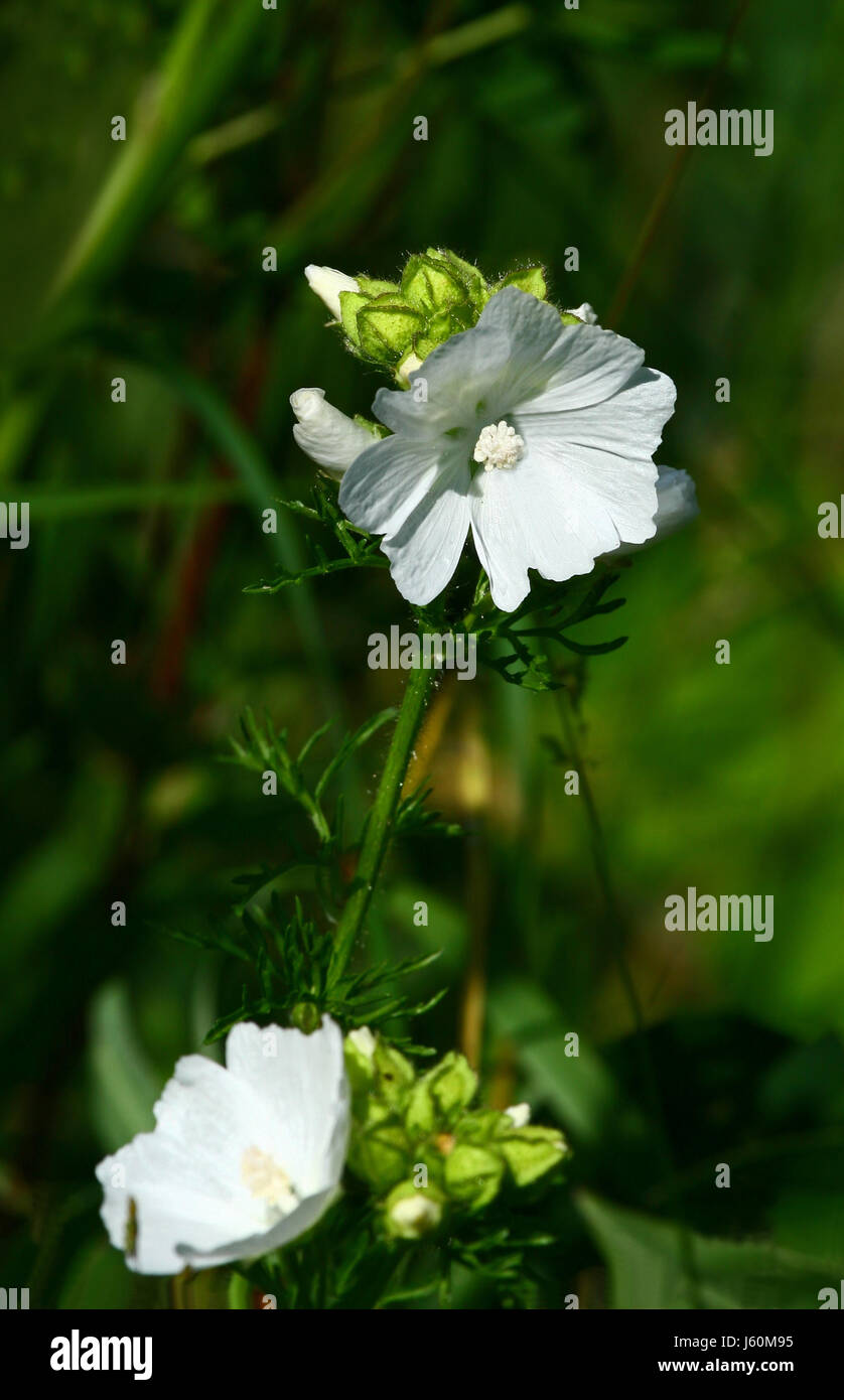 mallow plant mallow delighted unambitious enthusiastic merry radiant with joy Stock Photo