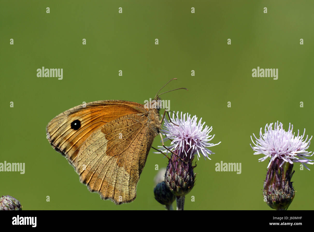 butterfly moth thistle animal insect insects butterfly animals wing moth - Stock Image