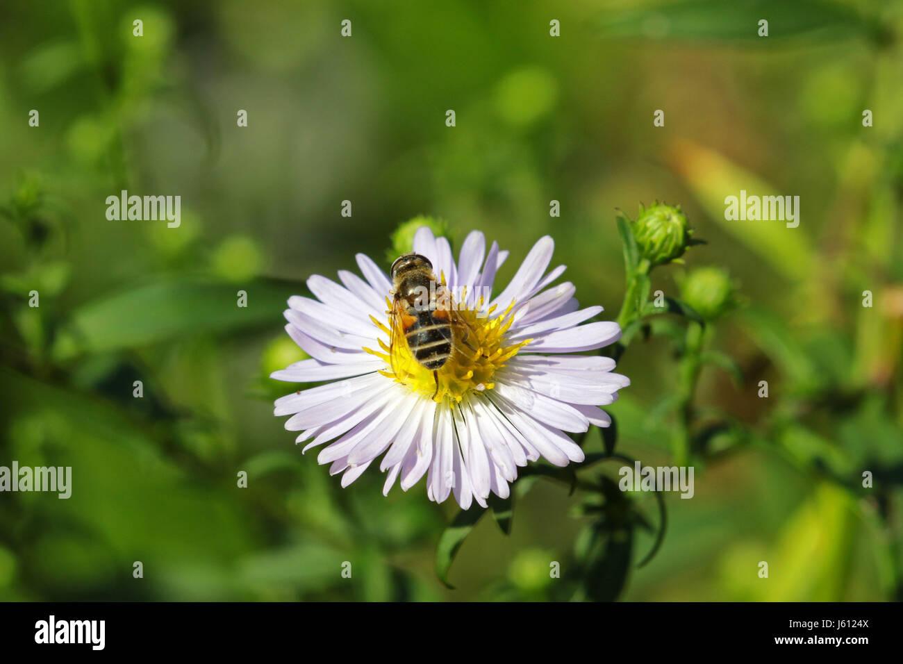 Macro of  bee feeding on daisy - Stock Image