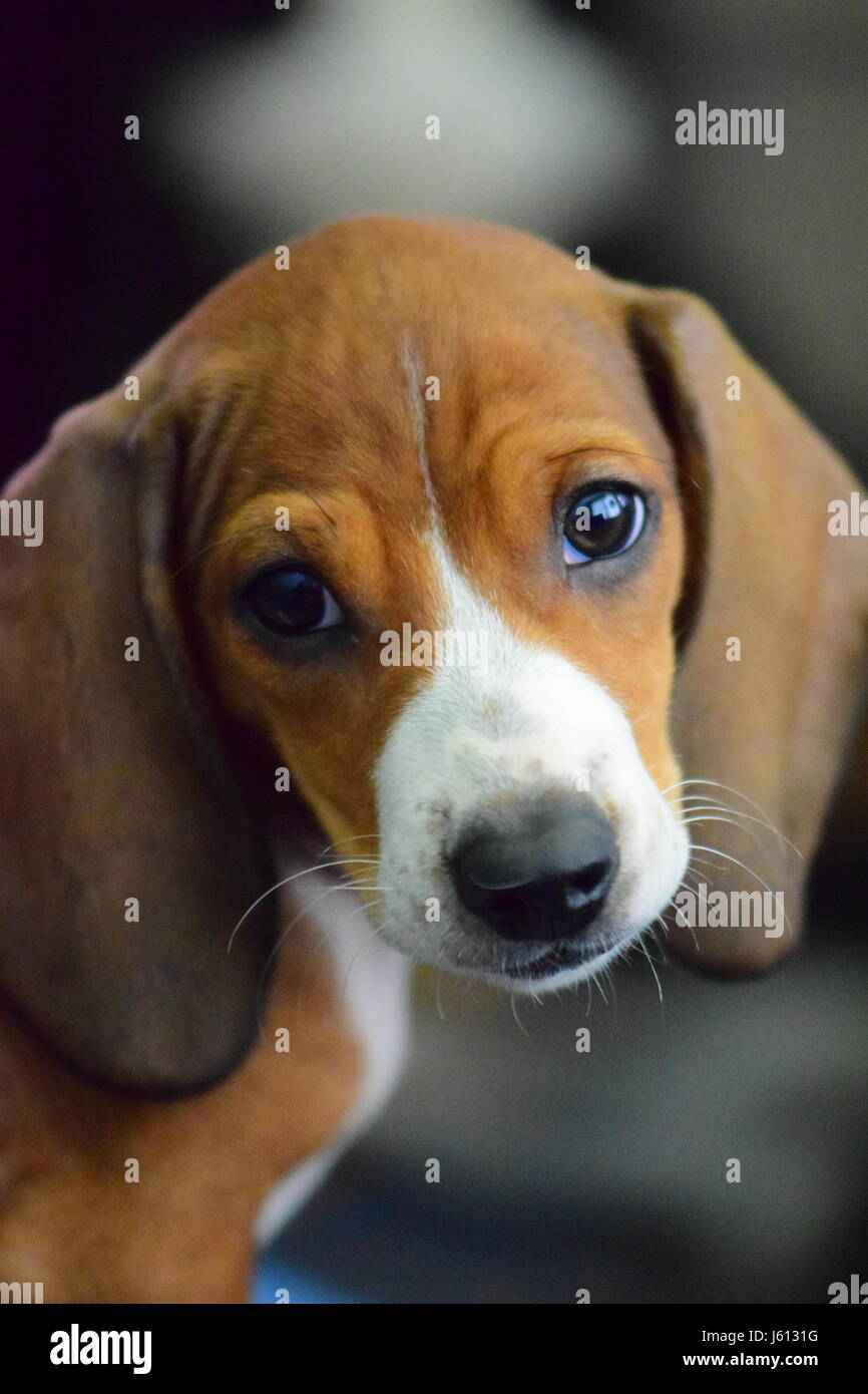 Basset Hound Dachshund Mix Puppy At 8 Weeks Stock Photo 141395228