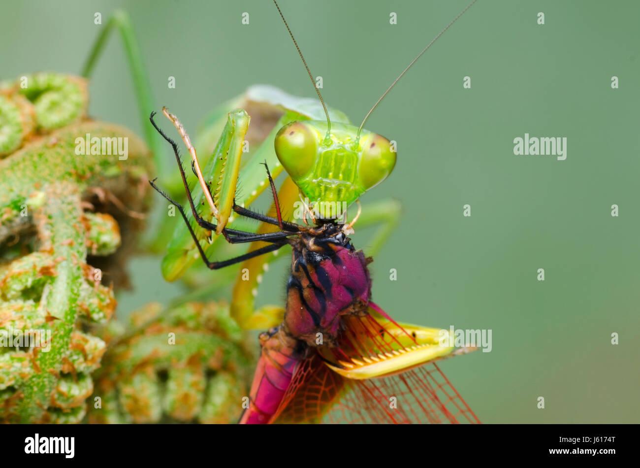 Praying mantis feeding on dragonfly. Hierodula.sp habitat in Malaysia Stock Photo