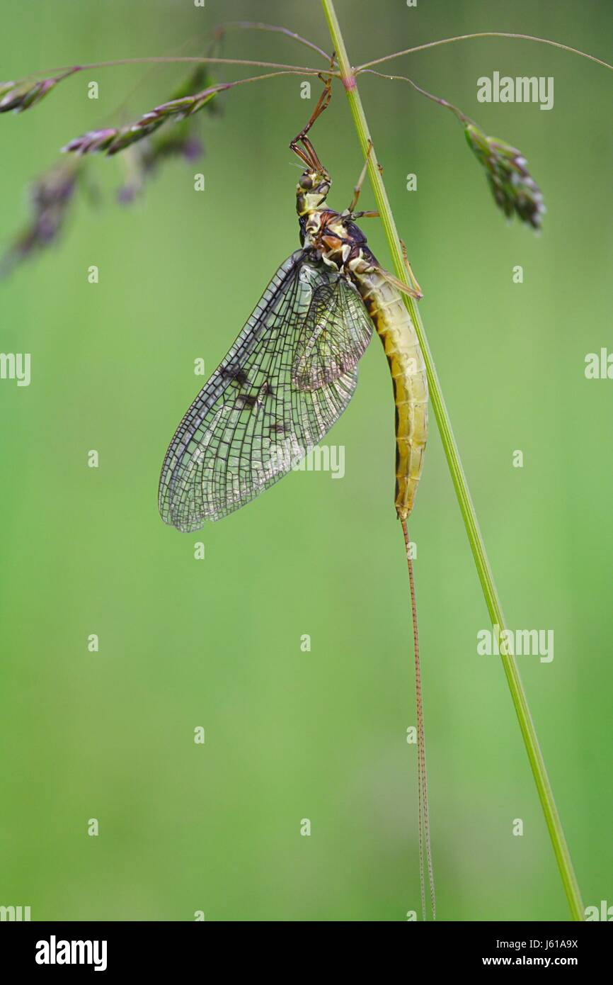 transitoriness short-dated mayfly macro close-up macro admission close up view - Stock Image