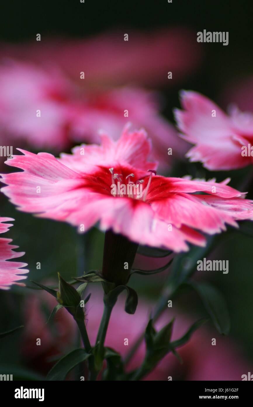 cloves macro - Stock Image