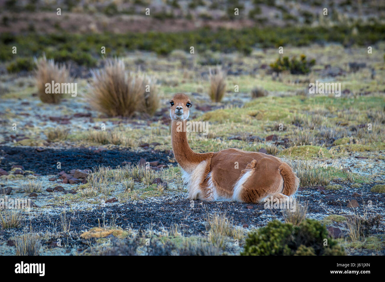 Cheerful adorable Vicugna looking at the camera in Reserva Nacional Pampa Galeras, Peru. Vicugna is a wild South - Stock Image