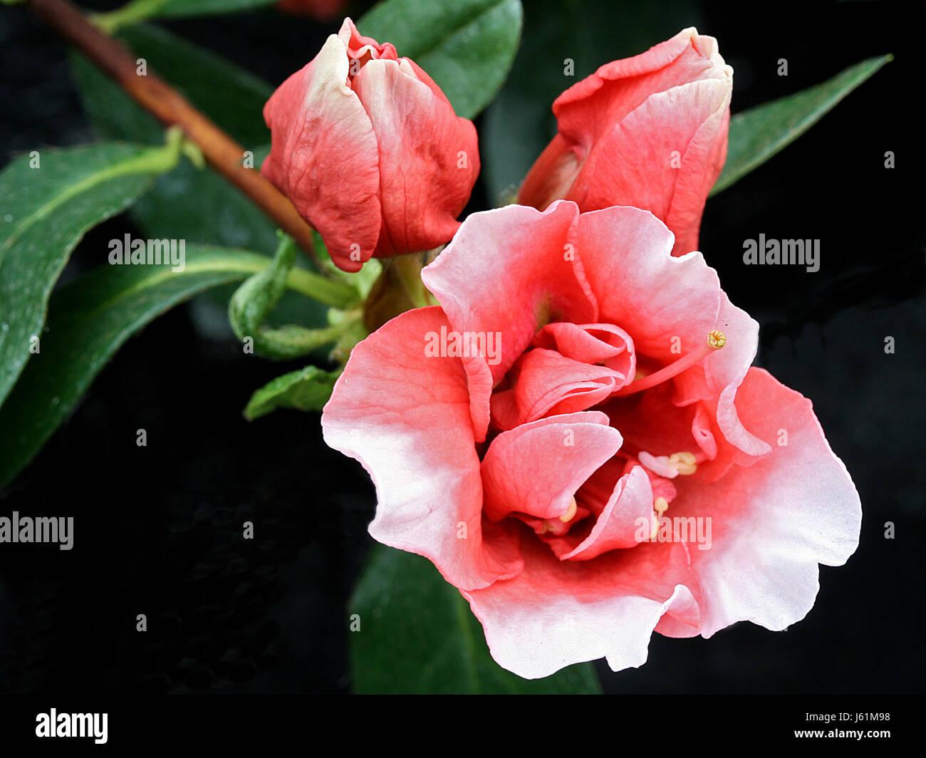 candela - new azaleas places - Stock Image