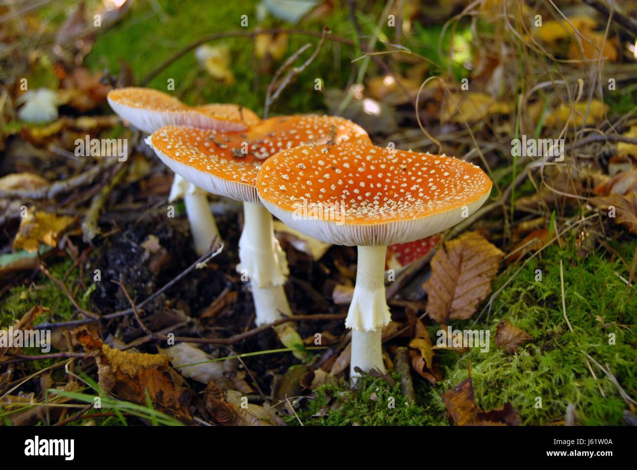 stool mushroom fungus toadstool toad fairies fairy danger pine leaves magical - Stock Image