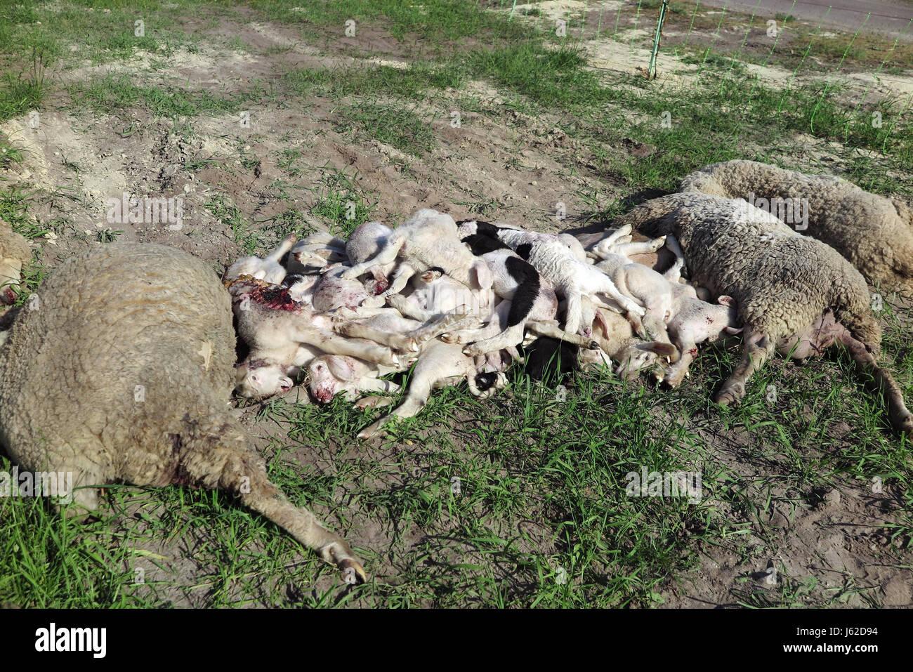 Kummersdorf, Germany. 18th May, 2017. Killed sheep lie on a maeadow in Kummersdorf, Germany, 18 May 2017. Shepherd Stock Photo