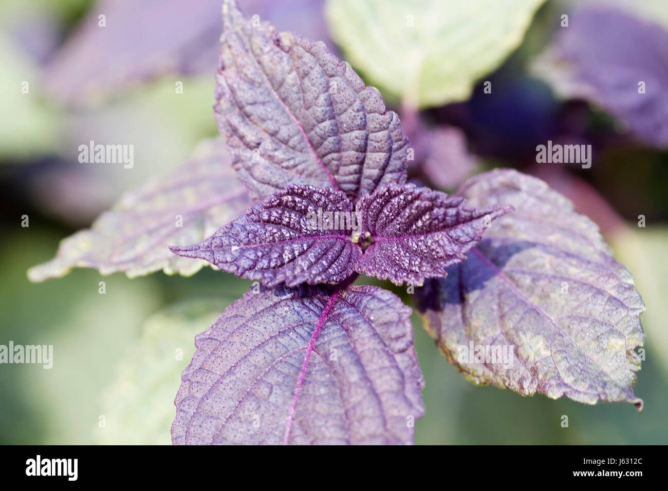 leaves homeopathy herb medicinal plant herbs macro close-up macro admission Stock Photo