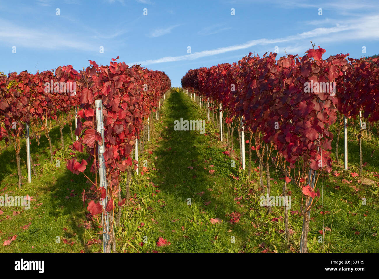 cultivation of wine vines viticulture fall autumn leaves agriculture farming Stock Photo