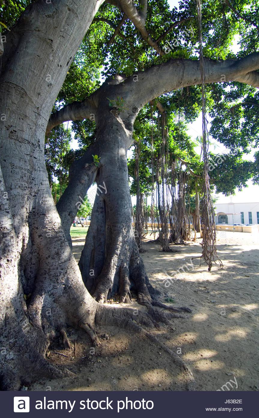Hanging roots from a large Banyan tree near the Waikiki Natatorium War Memorial, Honolulu, Oahu, Hawaii, USA. - Stock Image