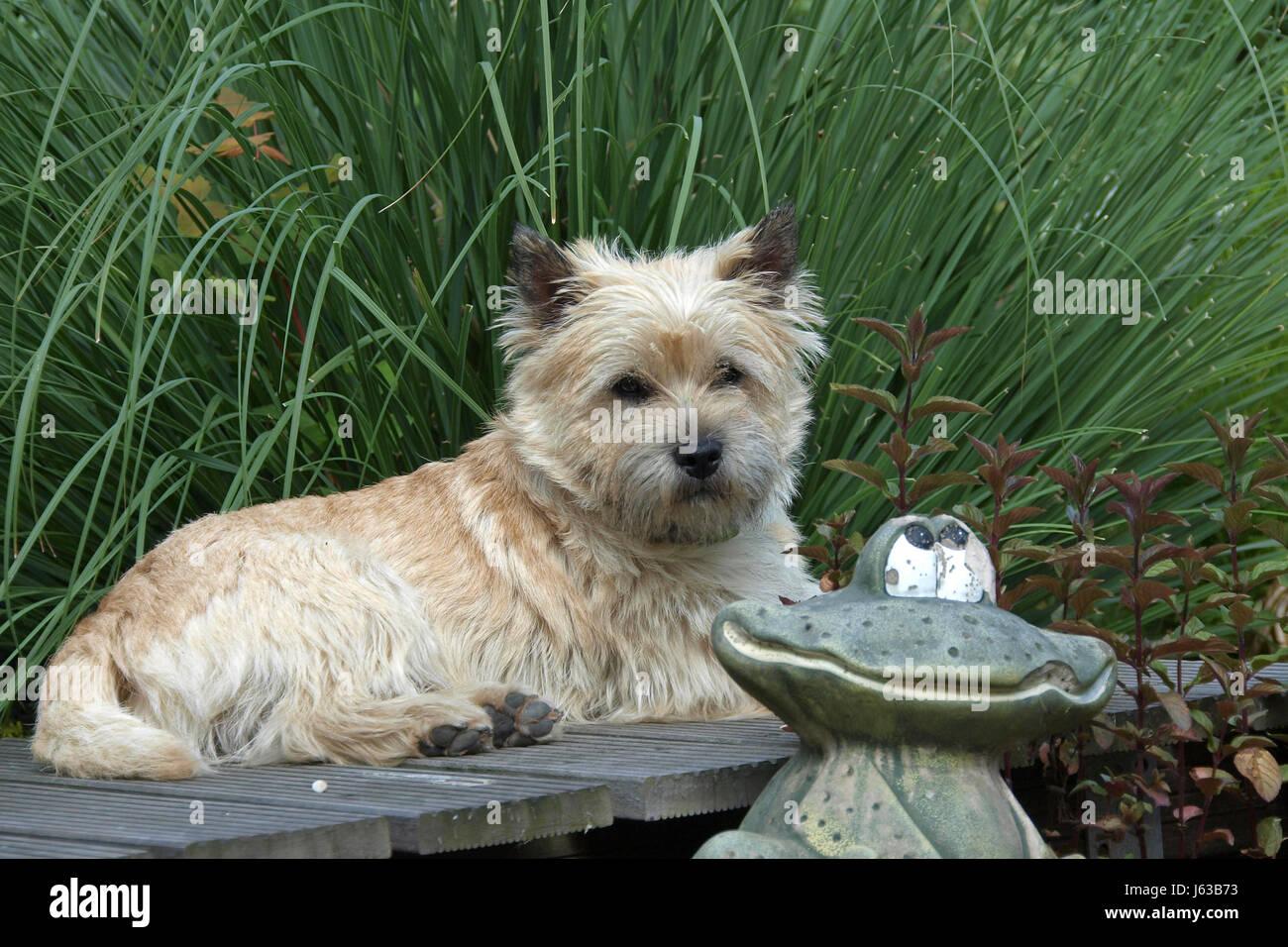 dog terrier species animal dog race species cairn hunderasse cairn terrier - Stock Image