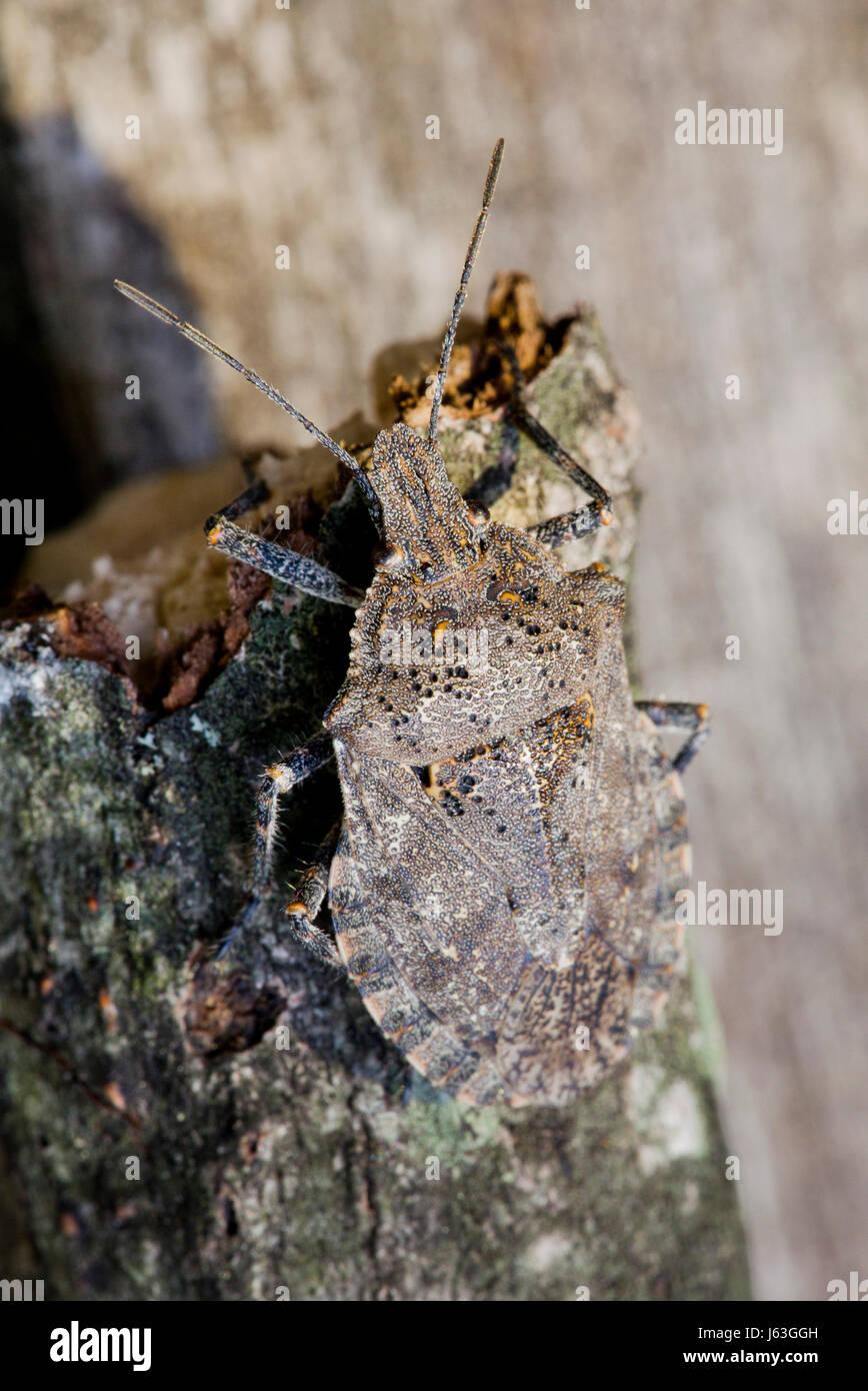 Brown marmorated stink bug  (Halyomorpha halys) sitting on tree branch - USA - Stock Image