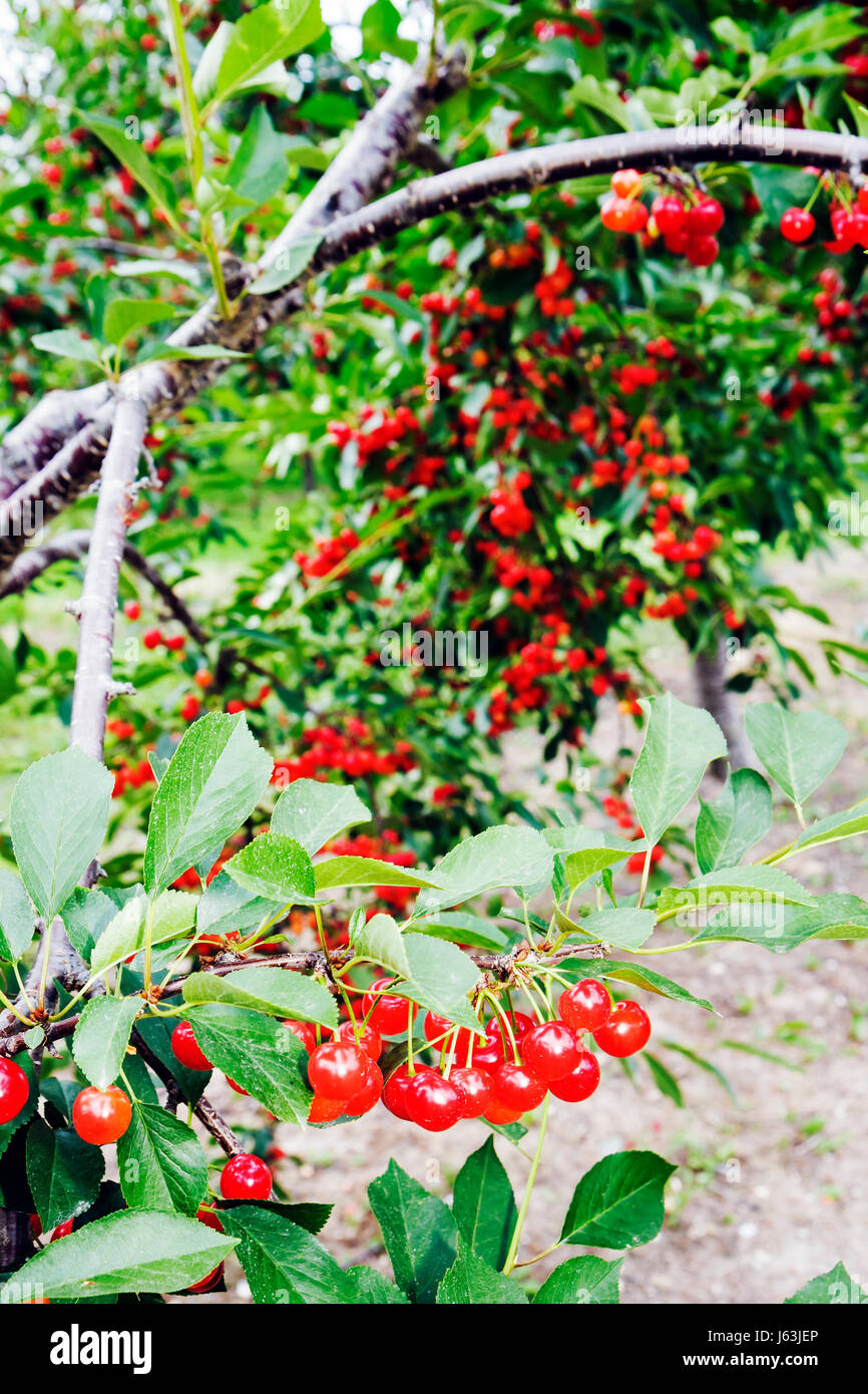 Michigan Traverse City Old Mission Peninsula cherry orchard tree fruit Cerasus clusters farming agriculture branch - Stock Image