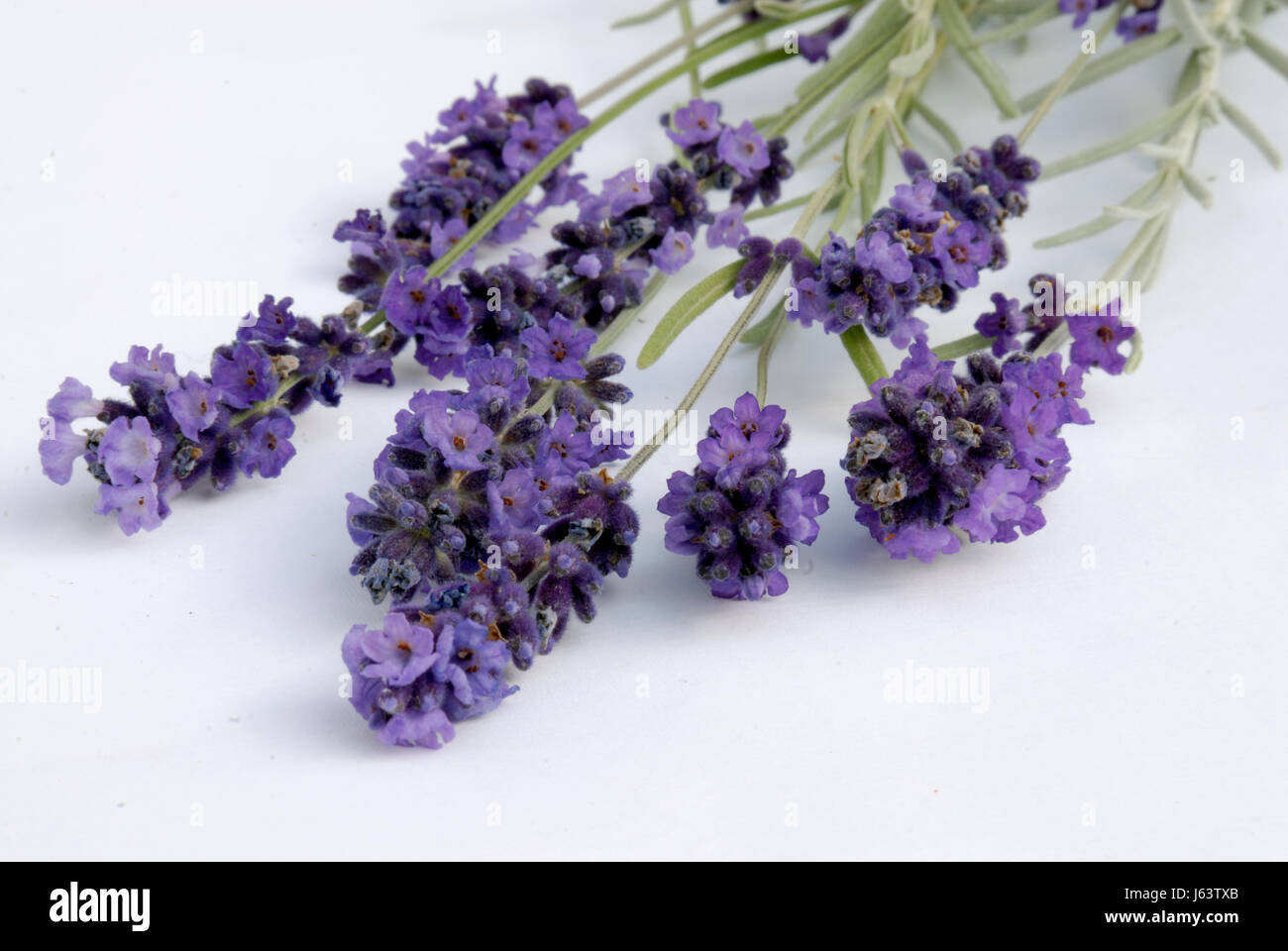 bloom blossom flourish flourishing violet lavender shrub cultigen blue optional Stock Photo
