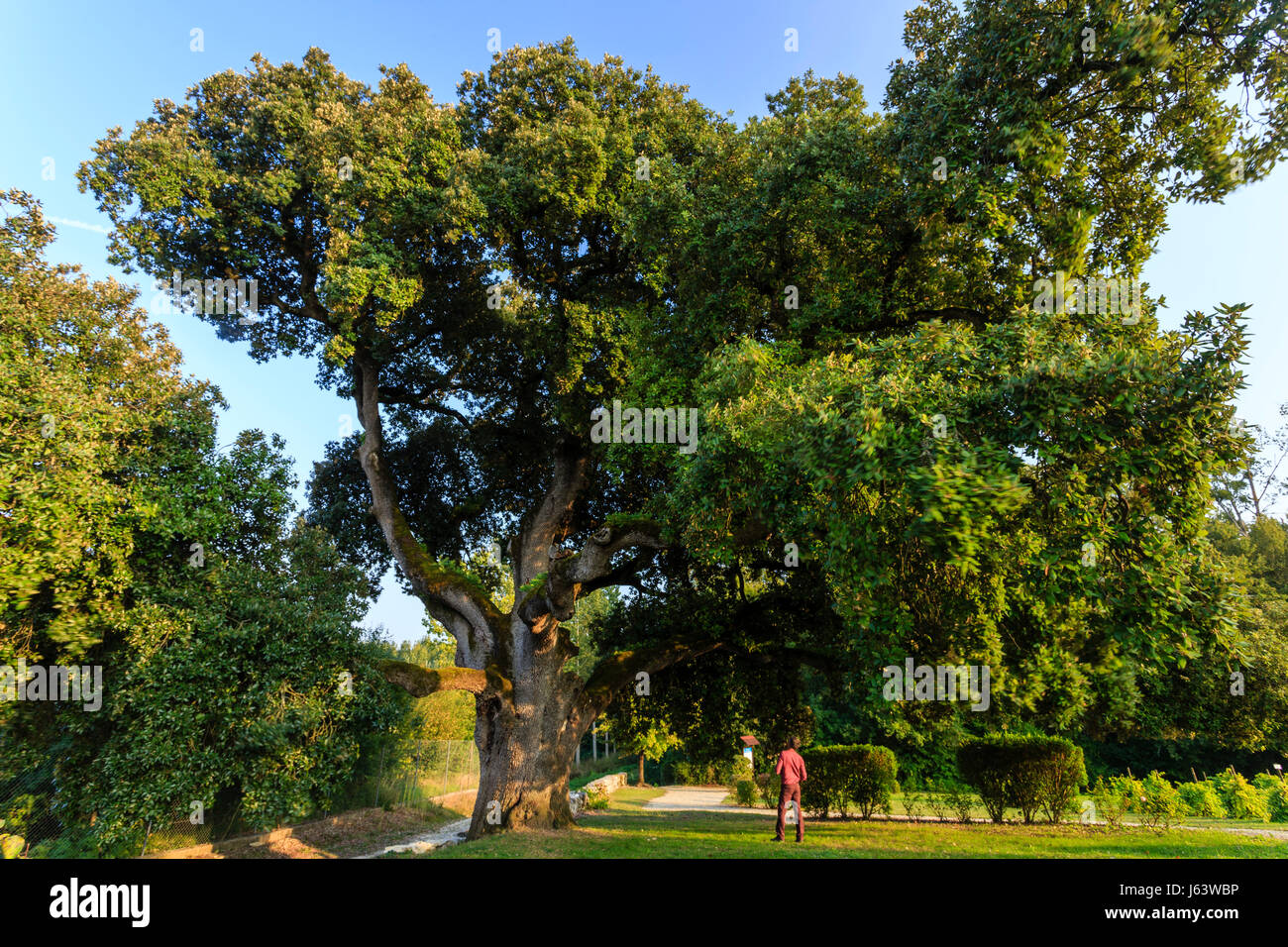 France, Charente, Cherves Richemont, holm oak (Quercus ilex) four centuries old classified Remarkable Tree in the Stock Photo