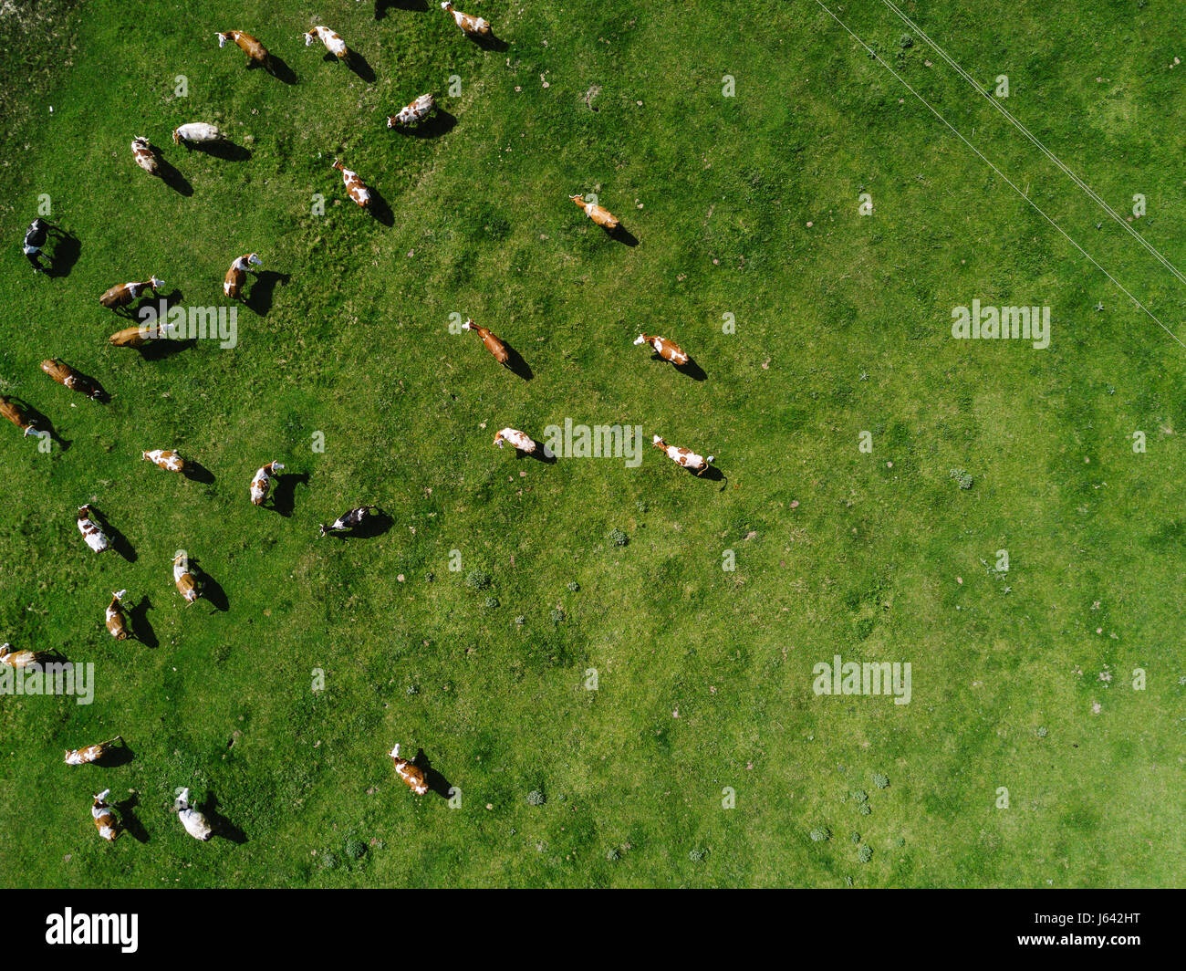 Aerial view of cows herd grazing on pasture field, top view drone pov - Stock Image