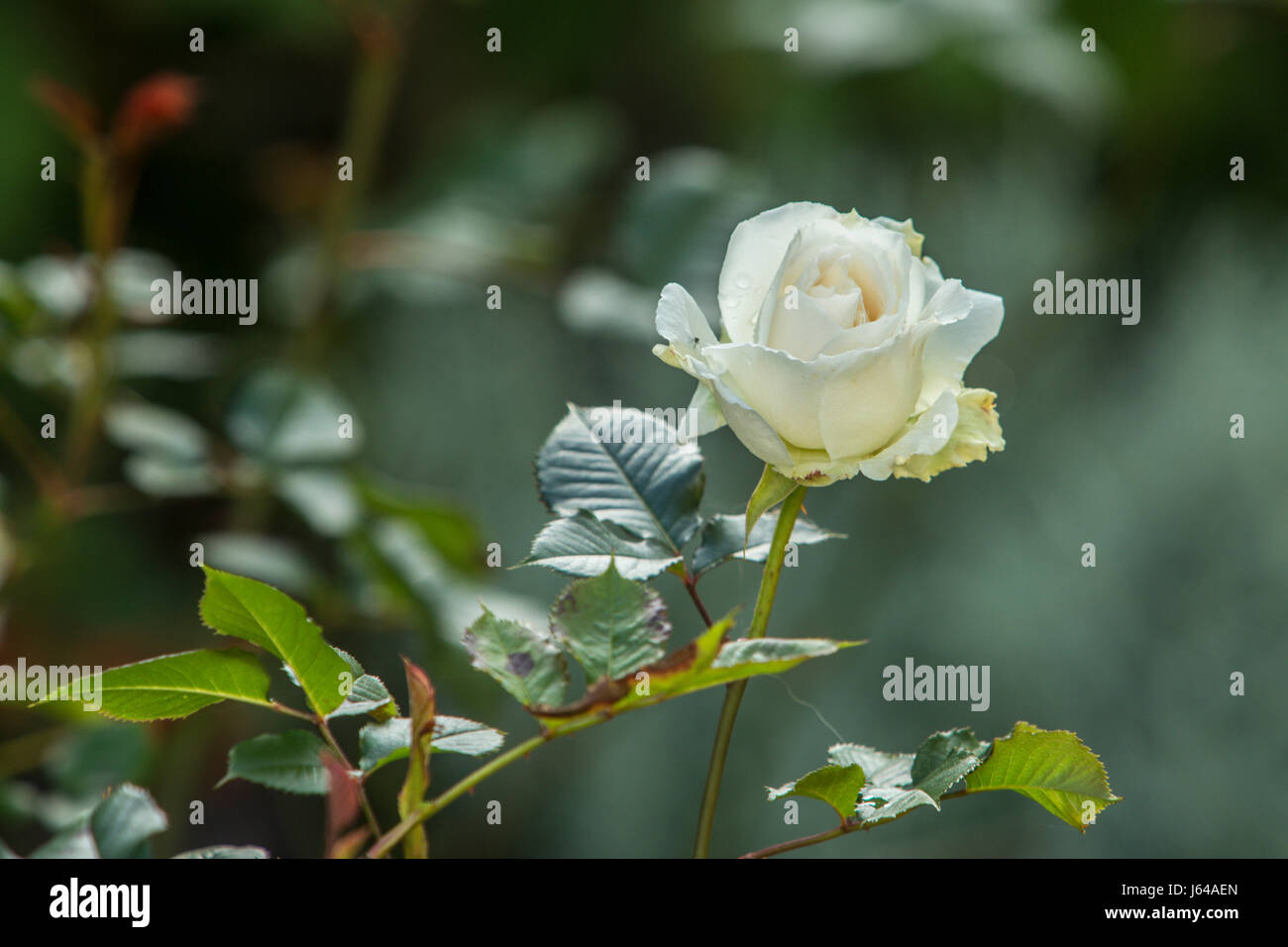 Rose Margarel Merril, a strongly perfumed fragrant repeat flowering white rose - Stock Image