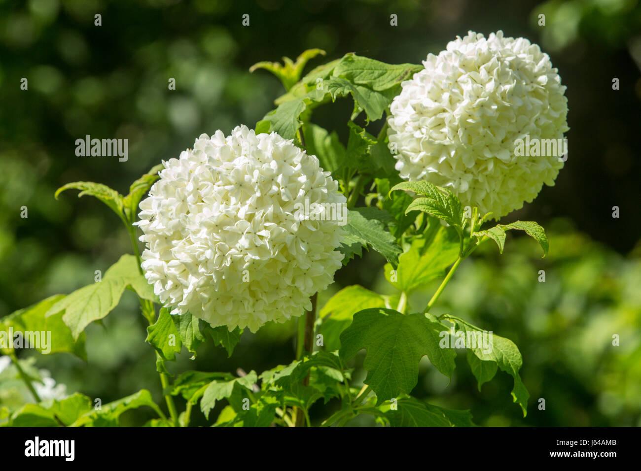 Viburnum opulus Roseum, the snowball tree, in full bloom. - Stock Image
