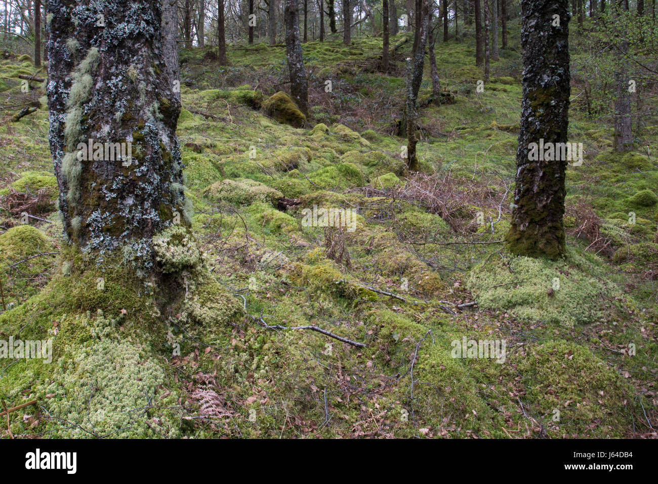 mossy undergrowth in a deciduous temperate rainforest in Snowdonia National Park, Wales - Stock Image