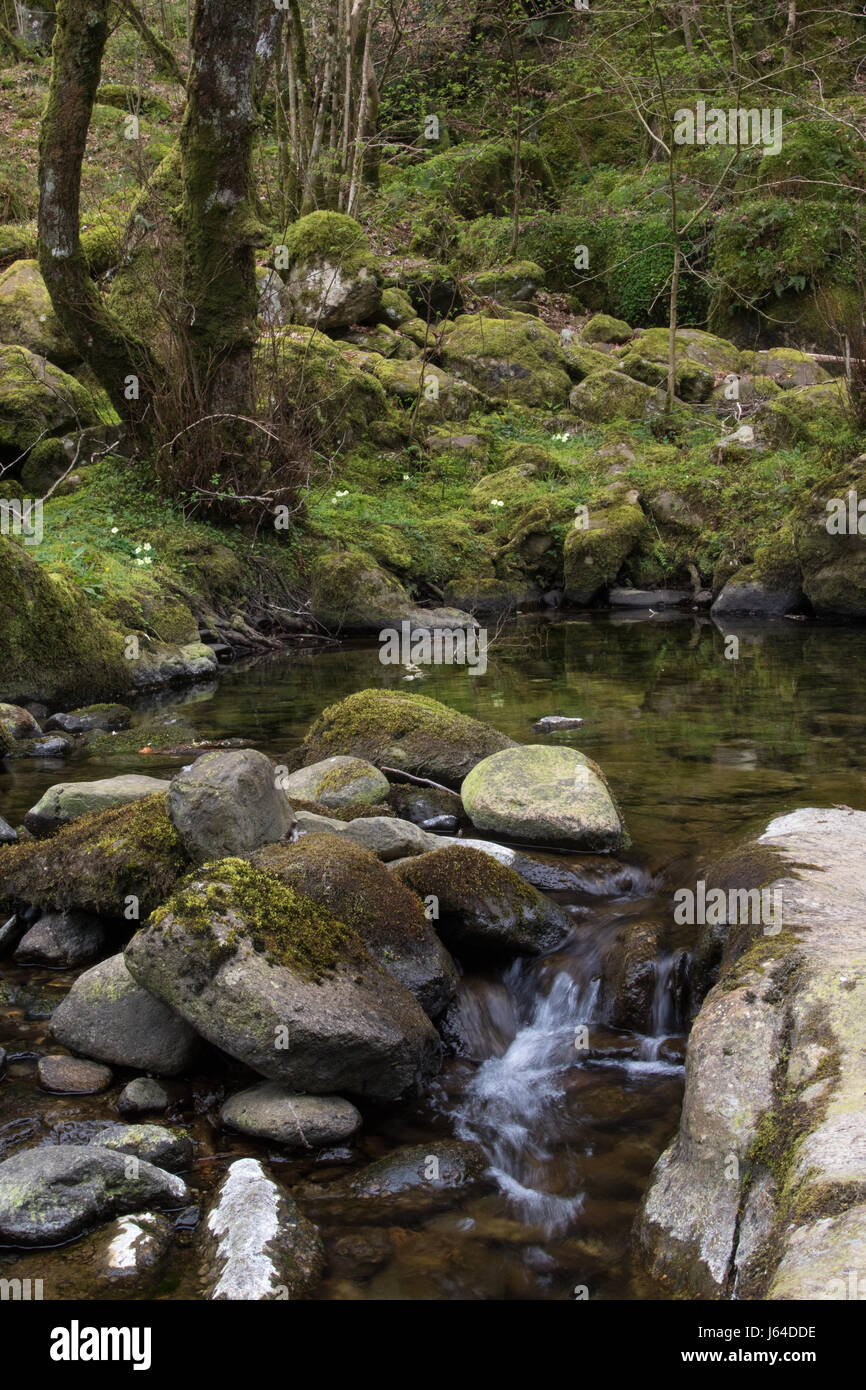 upland stream flowing through a wet, deciduous woodland in Snowdonia National Park, Wales - Stock Image
