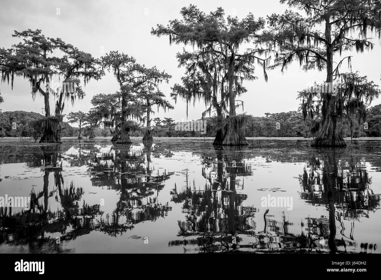 Spooky scenic view in monochrome of Spanish moss hanging from the limbs of bald cypress trees growing out from the - Stock Image