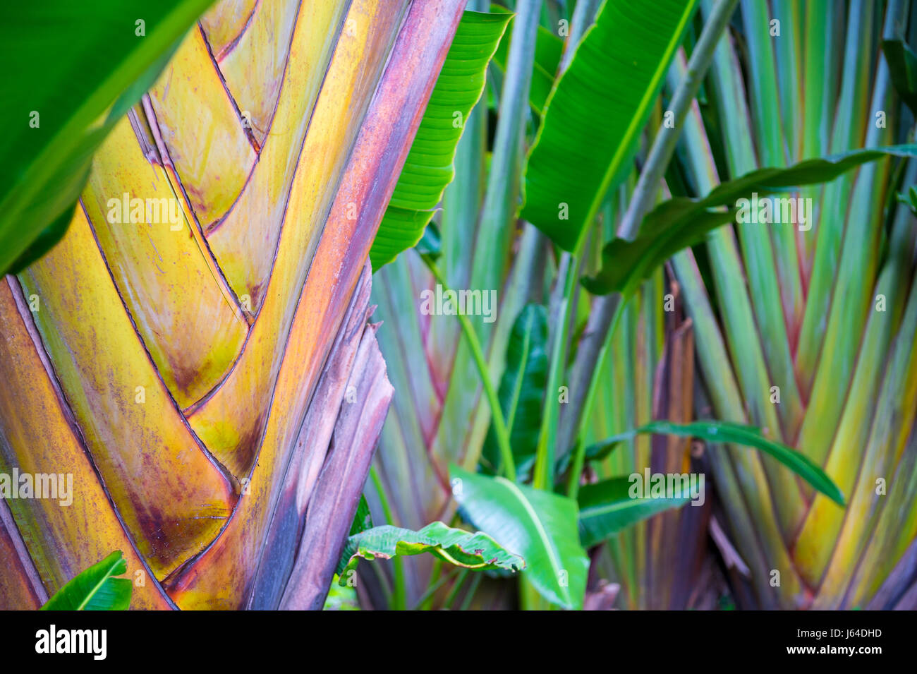 Bright and colorful natural background of the fan shapes of traveler palm trees growing in a tropical garden - Stock Image