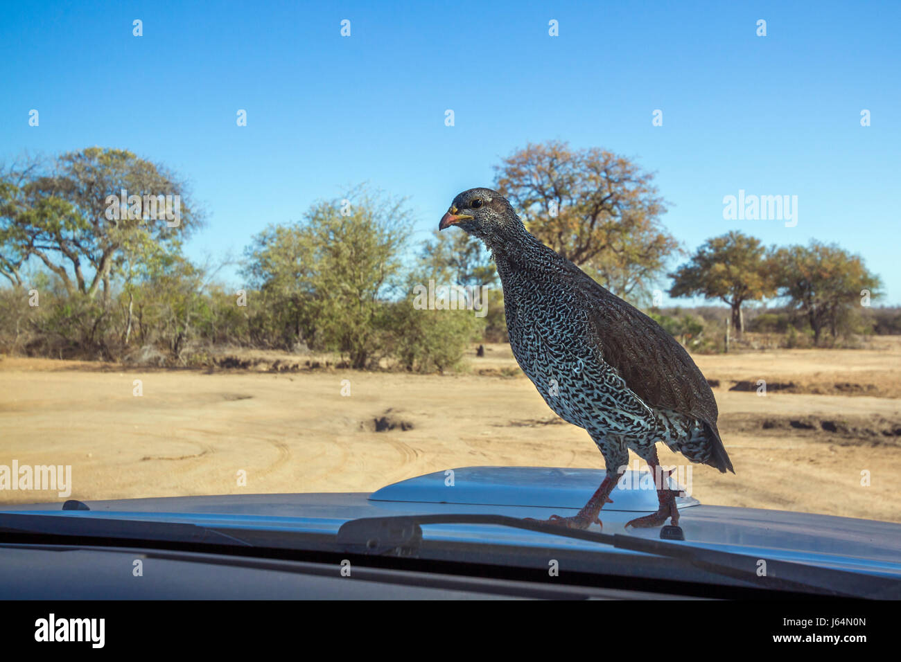 Natal francolin in Kruger national park, South Africa ; Specie Pternistis natalensis family of Phasianidae - Stock Image