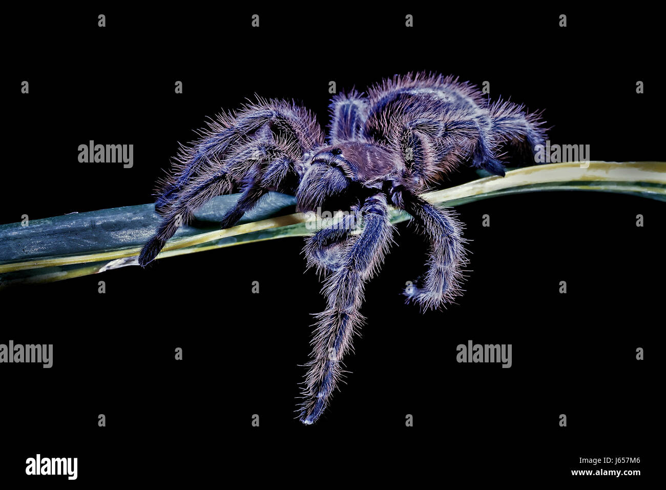 animal pet hairy spider exotic animal pet hairy spider exotic stock