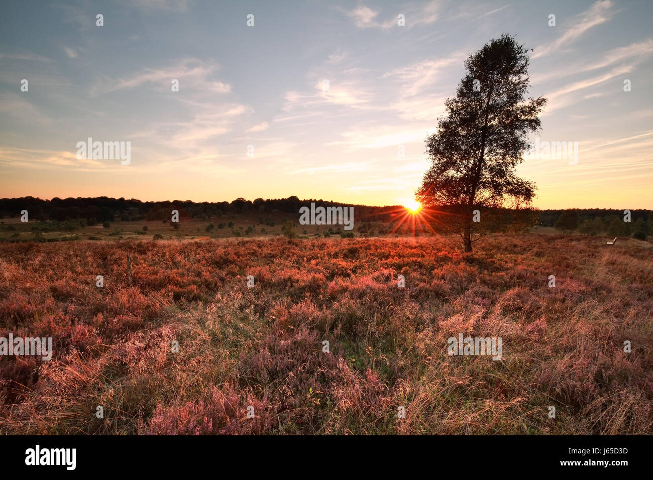 purple sunset over heather hills and birch tree - Stock Image