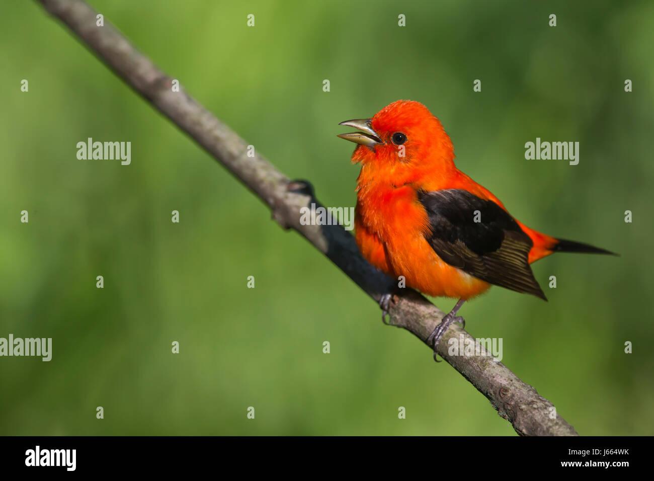 Scarlet Tanager, Piranga olivacea - Stock Image