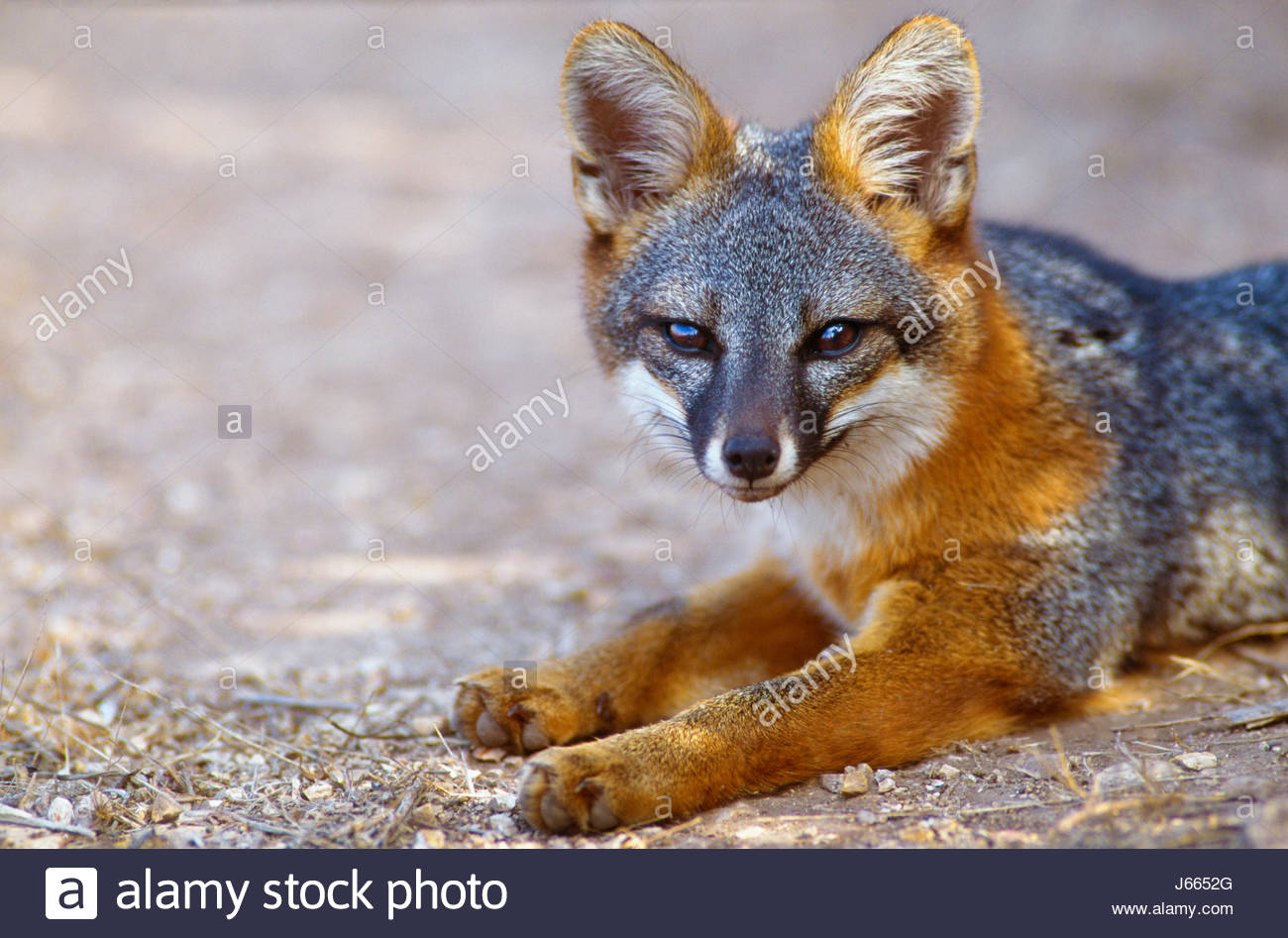 350606-1008   Copyright:  George H. H. Huey  The Island fox [endangered species].  Channel Islands National Park, - Stock Image