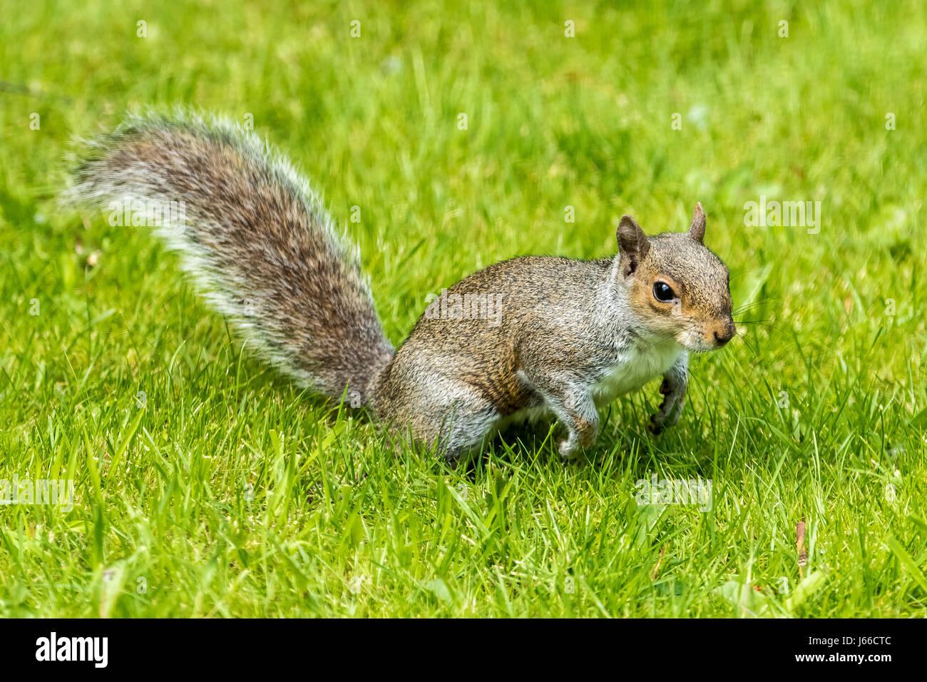 Grey Squirrel. Gray. - Stock Image