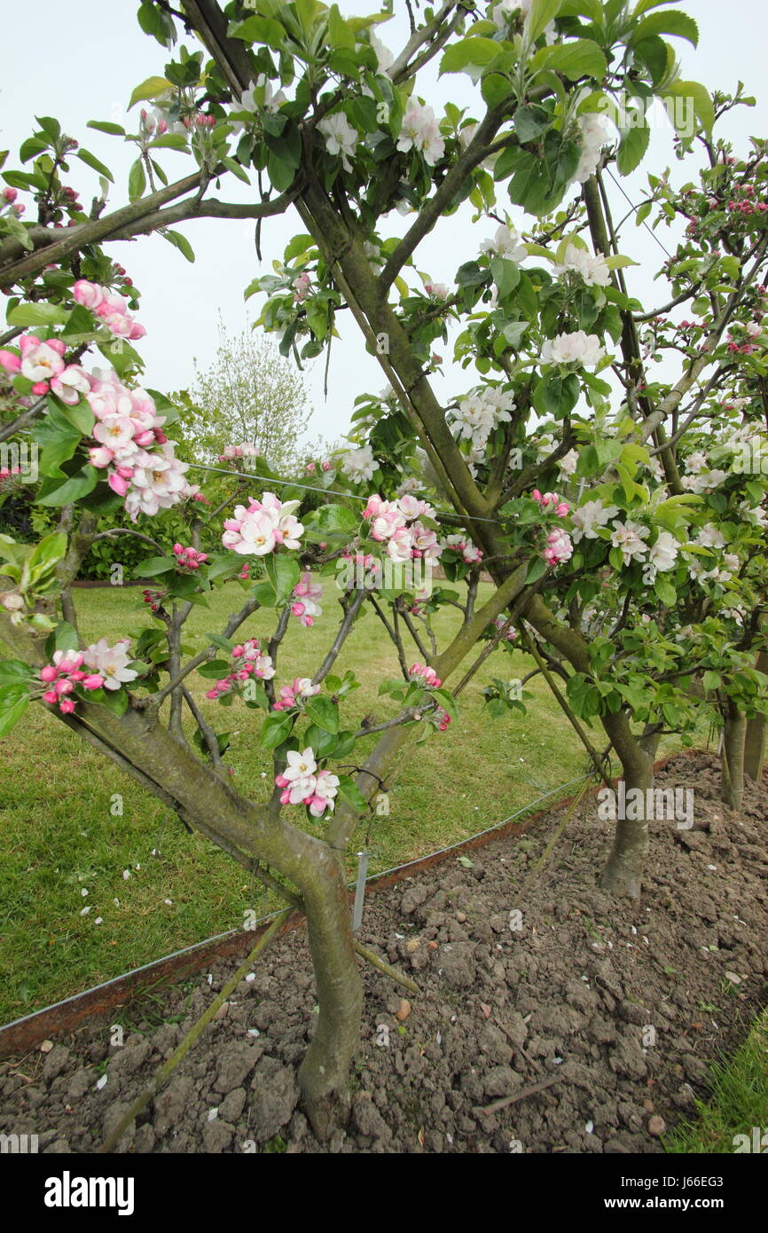 Blossom On Apple Trees Malus Trained Into The Belgian Fence