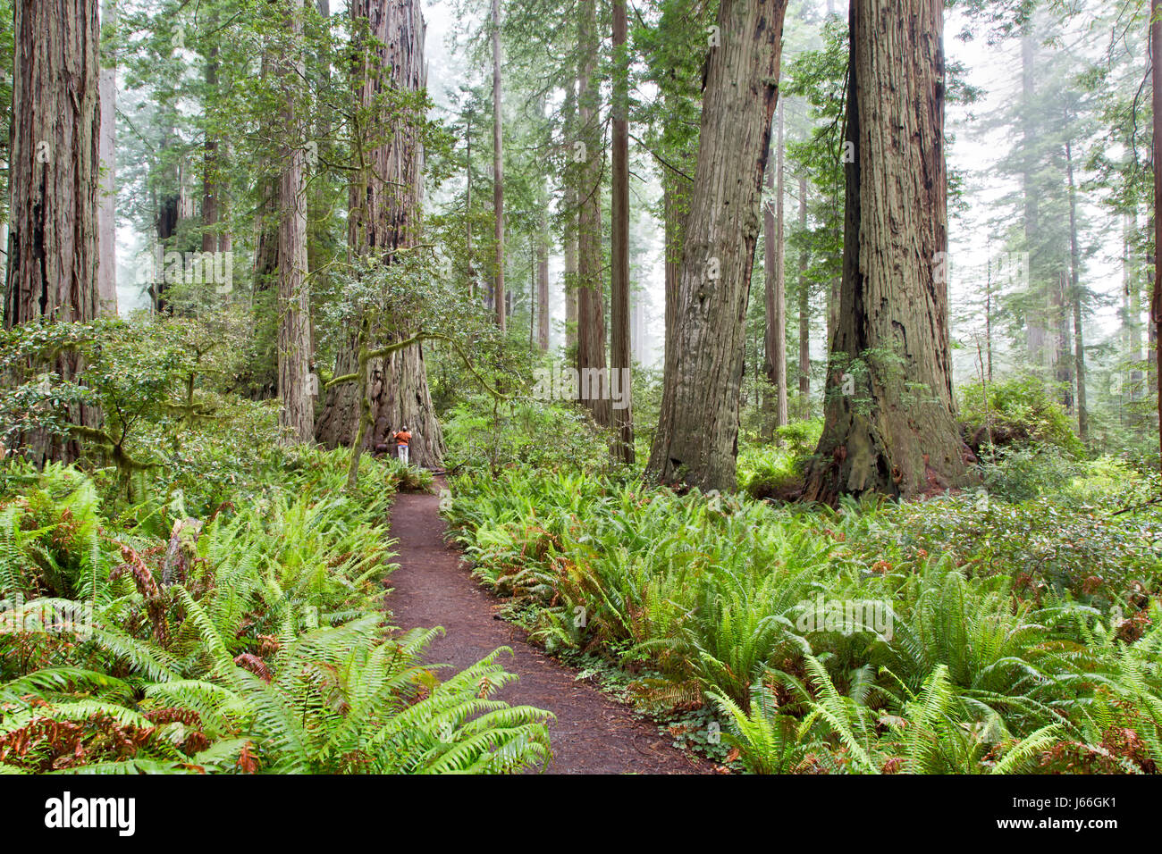 Lady Bird Johnson Grove, Redwood National Park, 'Sequoia sempervirens',  hiker communicating with Ancient - Stock Image