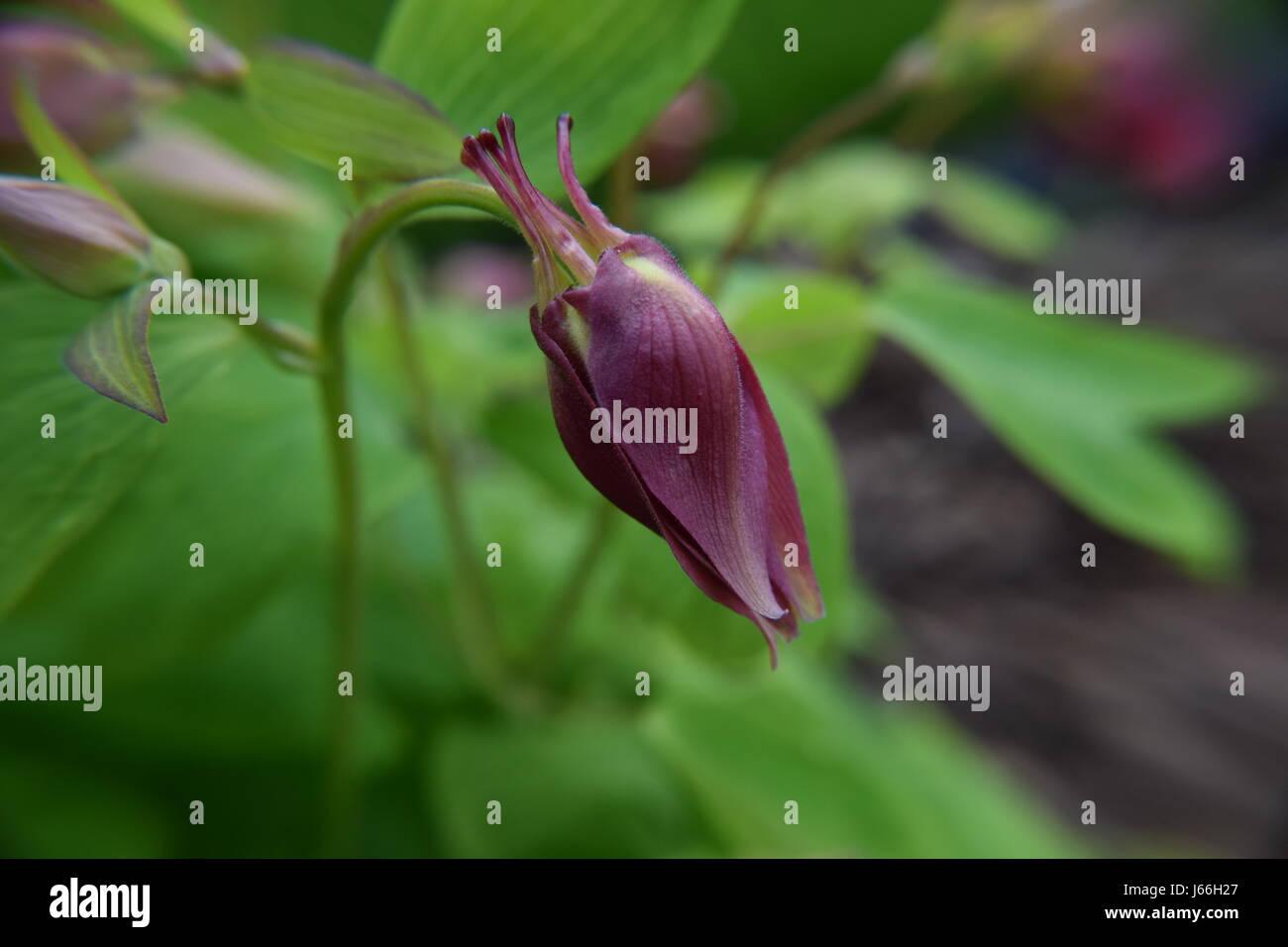 Songbird Cardinal Columbine Flower Bud - Stock Image