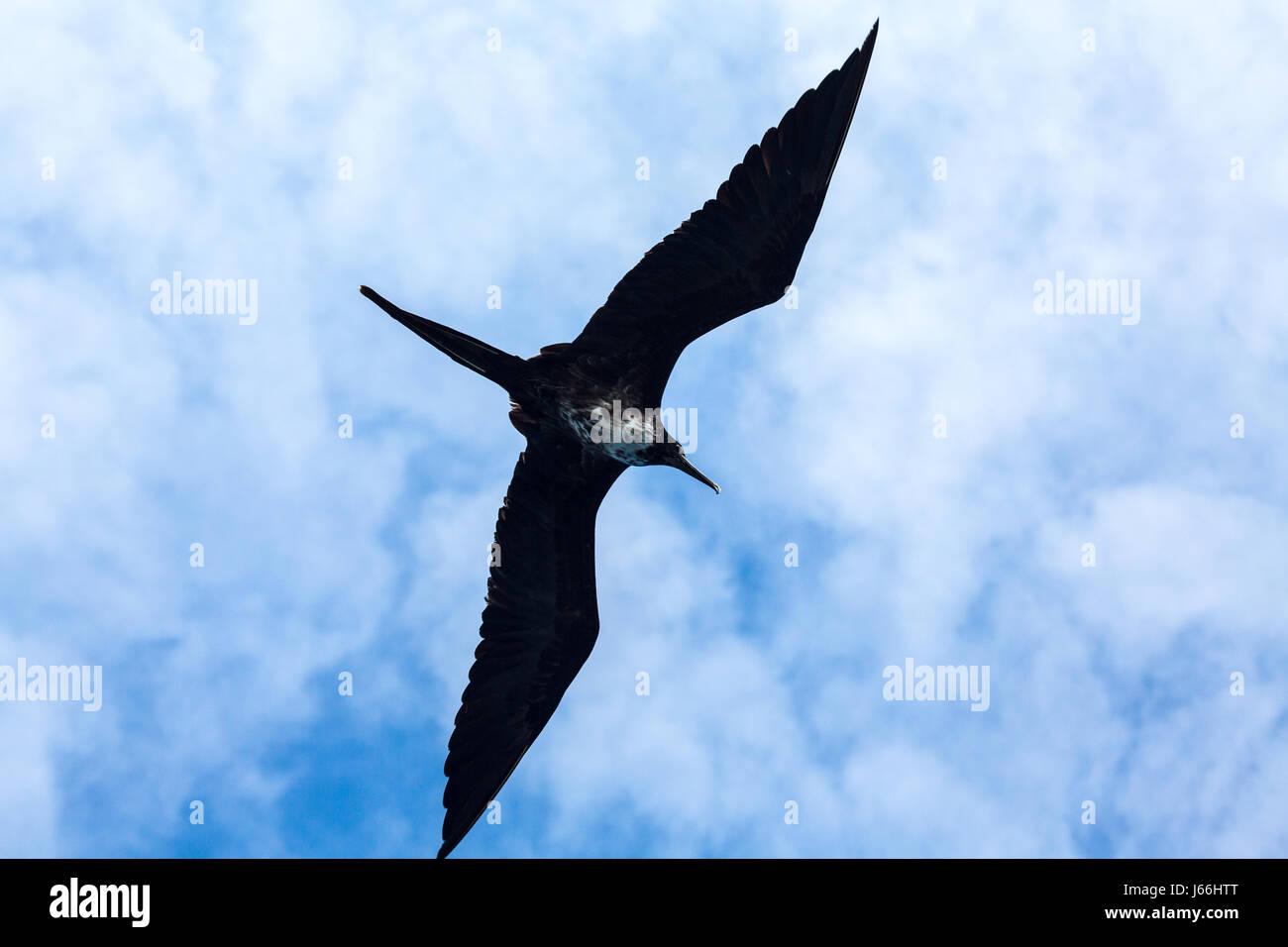 Magnificent frigate bird soaring overhead - Stock Image