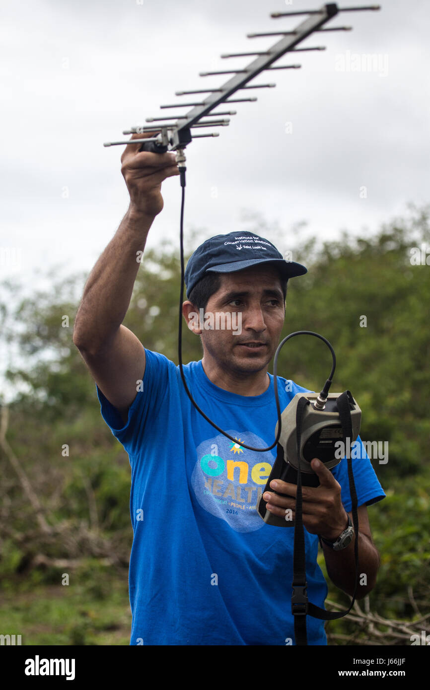 Researcher in the Galapagos tracking radio collars on giant tortoises - Stock Image