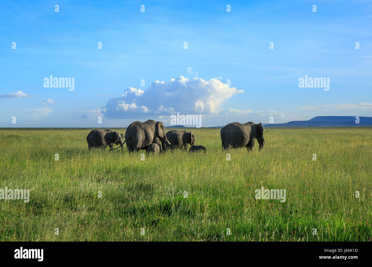 An African elephant matriarch leads her herd into the Savannah in search of food or water in a classic 'Out - Stock Image