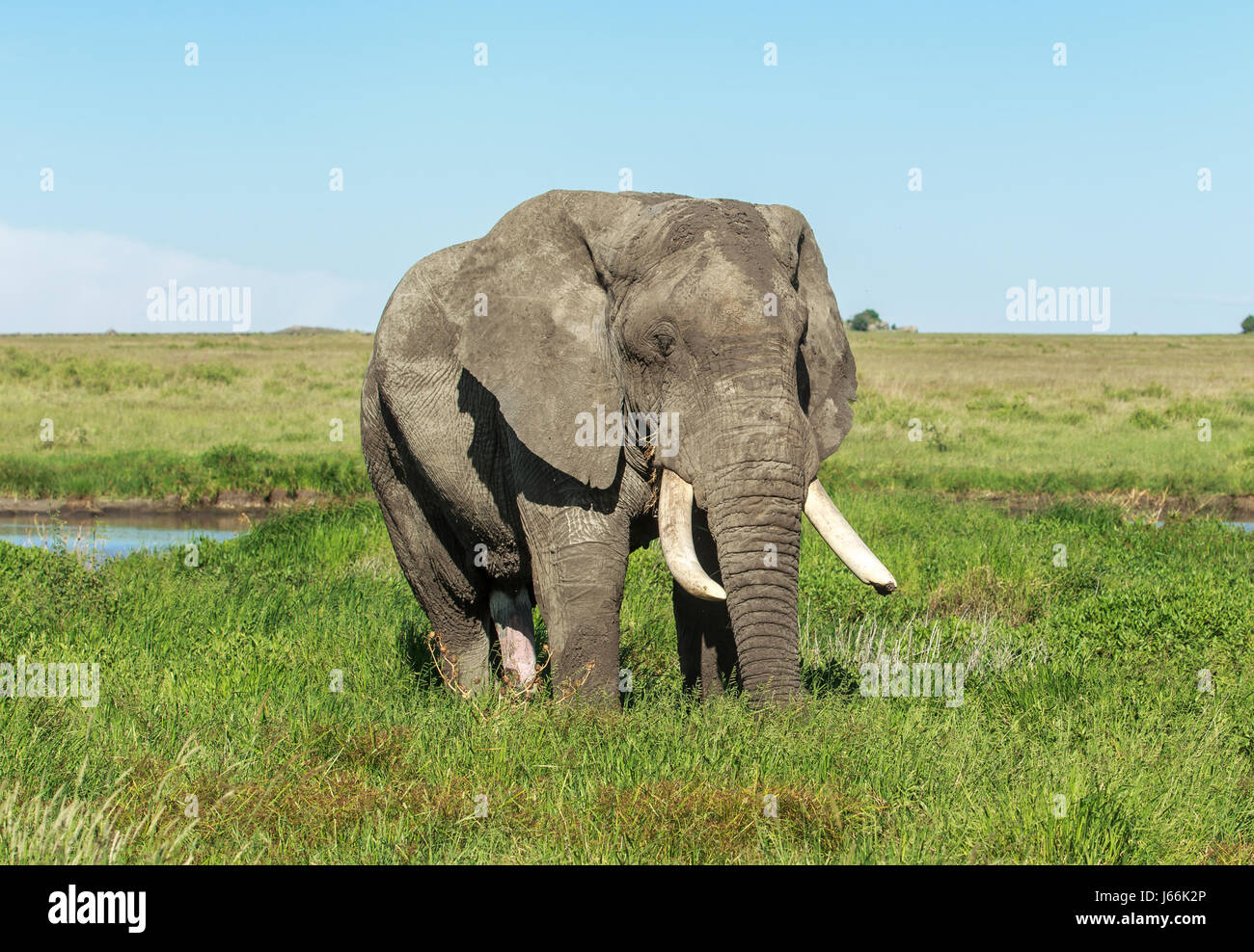 A huge tusker about 40-50 years old feeding in the grasslands. This male was like an old oak and looked like the - Stock Image