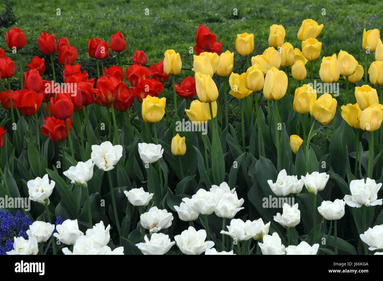 tulips at the botanic garden in early spring Stock Photo
