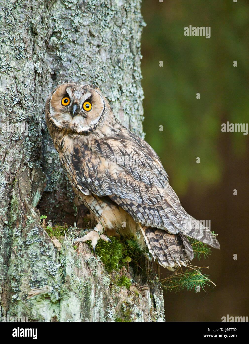 Long-eared owl siting on the tree - Asio otus otus - Stock Image