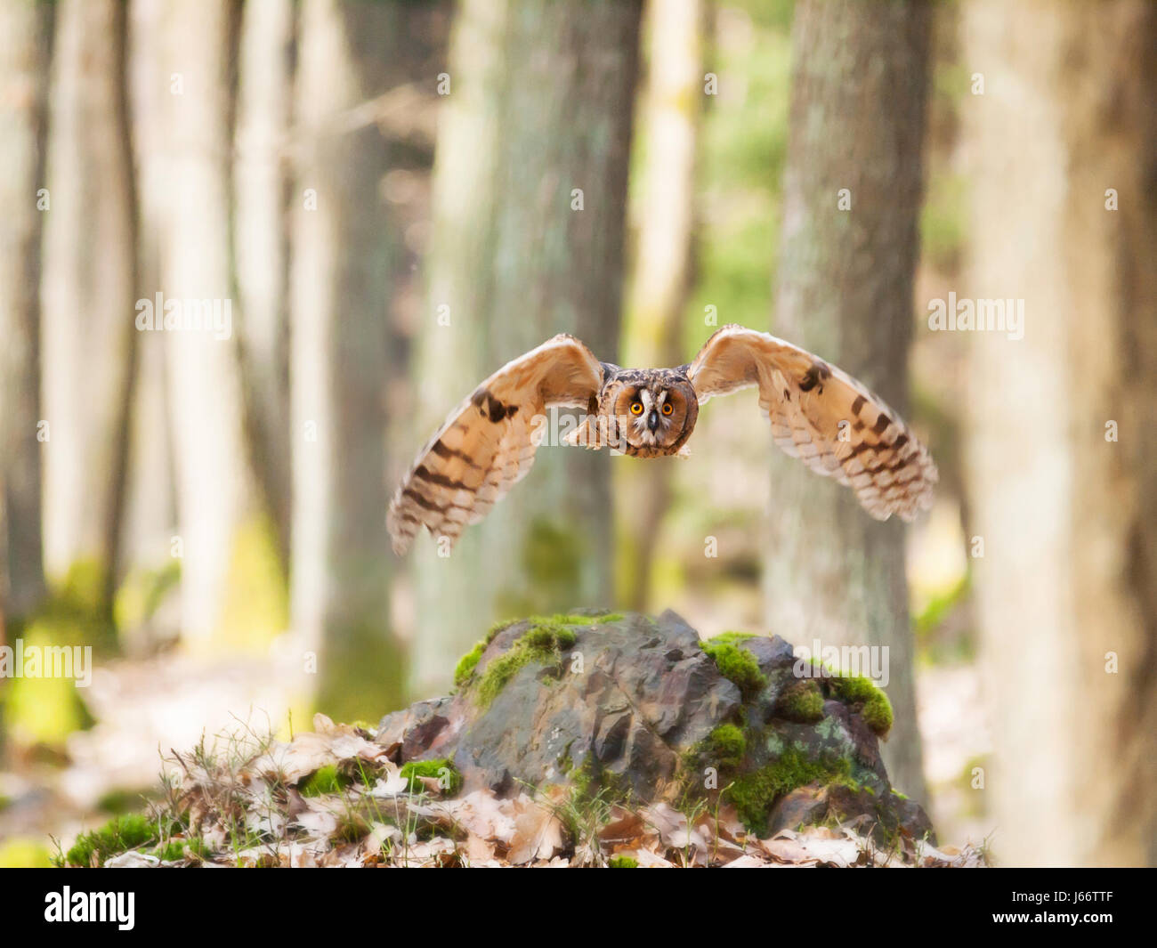 Long-eared owl flying in forest - Asio otus Stock Photo